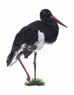 Bocian czarny (Ciconia nigra)