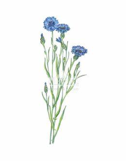 Chaber bławatek (Centaurea cyanus)