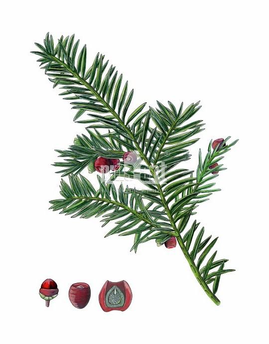 Cis pospolity (Taxus baccata)