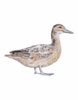 Cyranka zwyczajna (Spatula querquedula) - samica