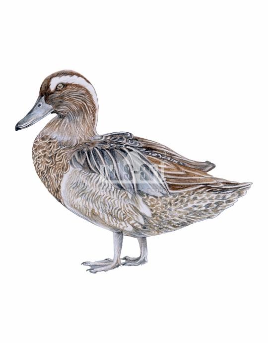 Cyranka zwyczajna (Spatula querquedula) - samiec