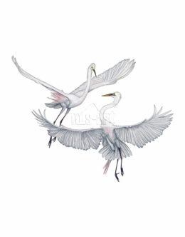 Czapla biała (Ardea alba)