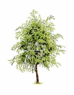 Czeremcha amerykańska (Prunus serotina)