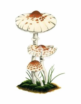 Czubajeczka cuchnąca (Lepiota cristata)