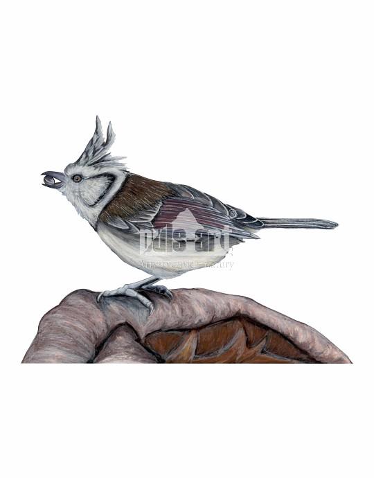 Czubatka europejska (Lophophanes cristatus)