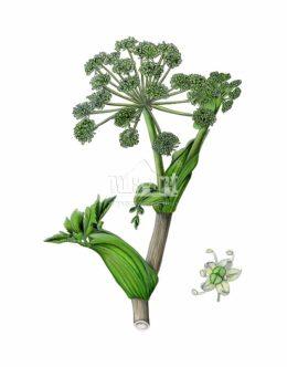 Dzięgiel litwor (Angelica archangelica)