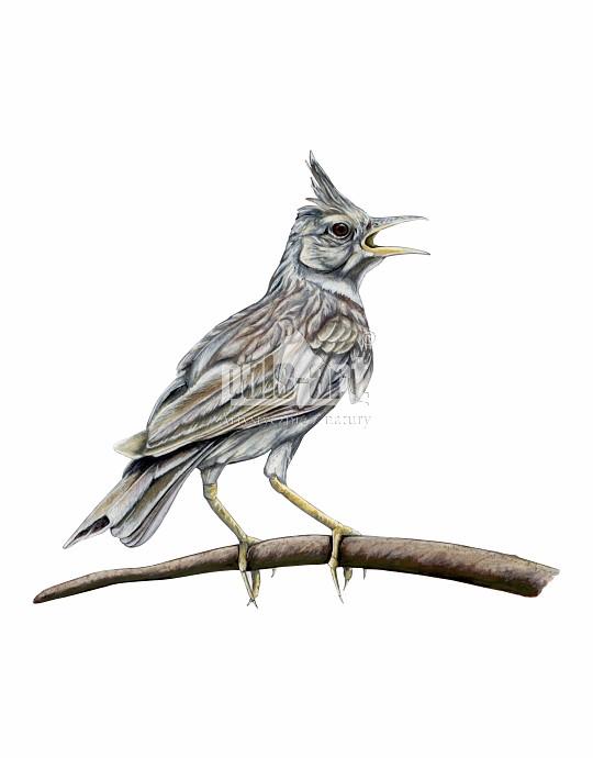 Dzierlatka zwyczajna (Galerida cristata)