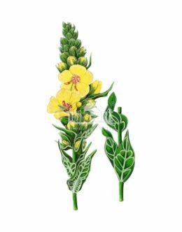 Dziewanna pospolita (Verbascum nigrum)