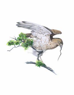 Gadożer zwyczajny (Circaetus gallicus)