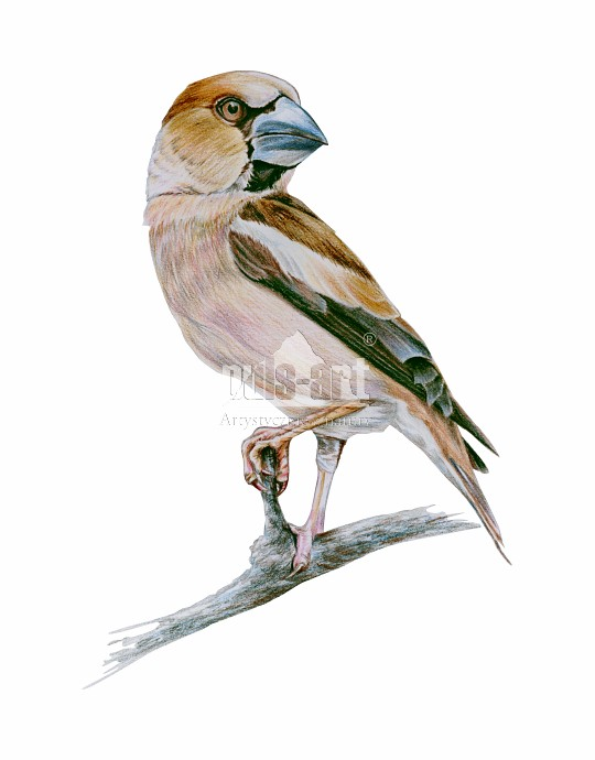 Grubodziób zwyczajny (Coccothraustes coccothraustes) - samica