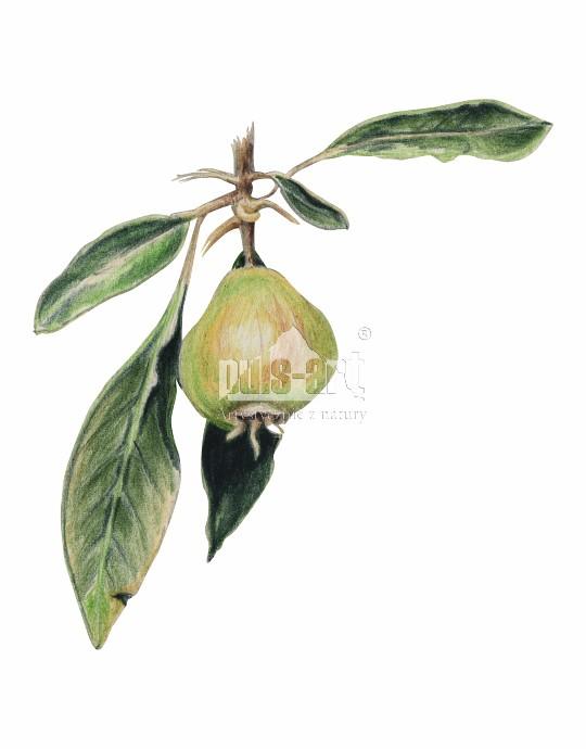 Grusza wieżbolistna (Pyrus salicifolia)