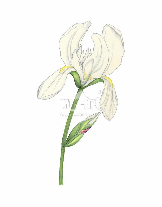 Irys biały