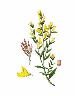 Janowiec barwierski (Genista tinctoria)