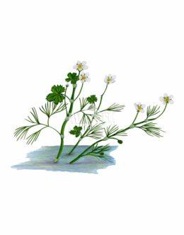 Jaskier krążkolistny (Ranunculus circinatus)