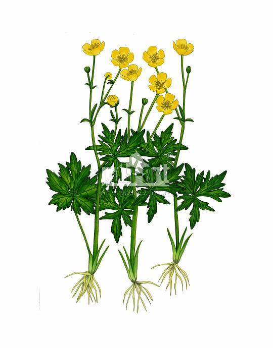 Jaskier ostry (Ranunculus acris)