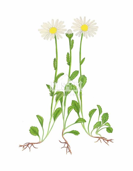 Jastrun właściwy (Leucanthemum vulgare)