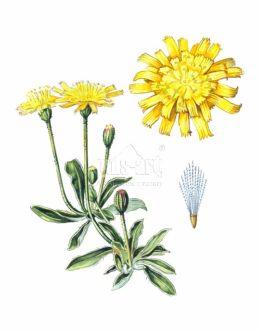 Jastrzębiec kosmaczek (Hieracium pilosella)