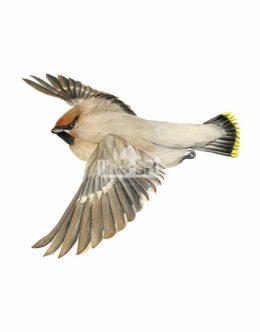 Jemiołuszka zwyczajna (Bombycilla garrulus)