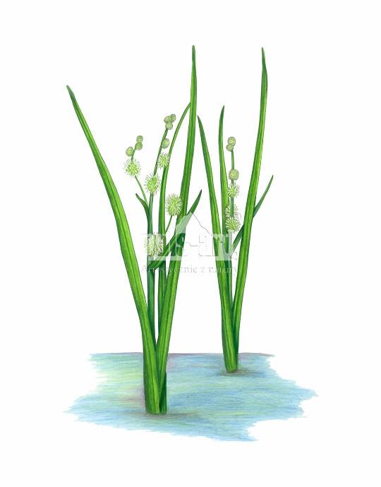 Jeżogłówka pojedyncza (Sparganium emersum)