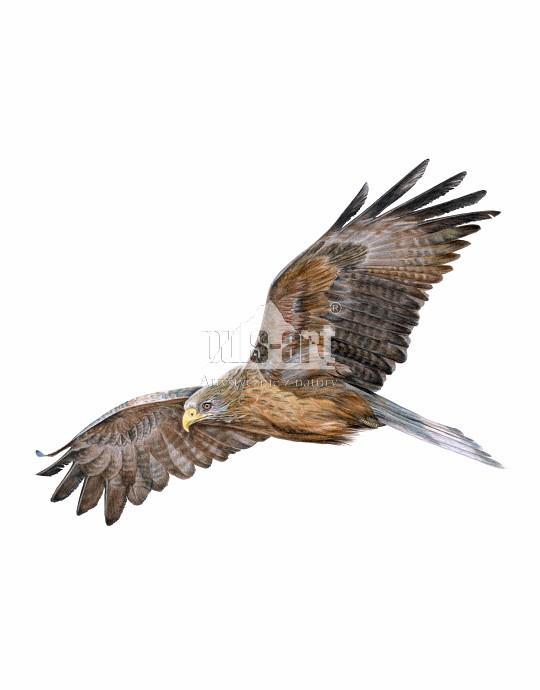 Kania czarna (Milvus migrans)