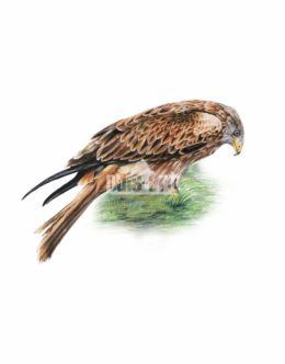 Kania Ruda (Milvus milvus)