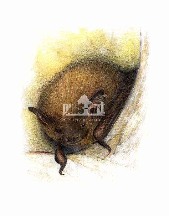 Karlik malutki (Pipistrellus pipistrellus)