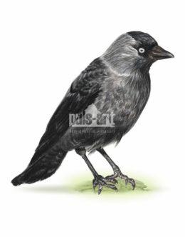 Kawka zwyczajna (Corvus monedula)