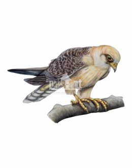 Kobczyk zwyczajny (Falco vespertinus)