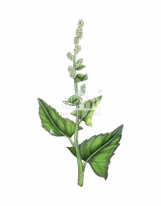 Komosa biała (Chenopodium album)