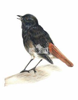Kopciuszek zwyczajny (Phoenicurus ochruros)
