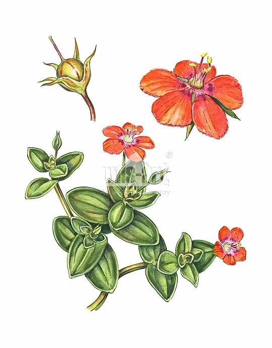 Kurzyślad polny (Anagallis arvensis)