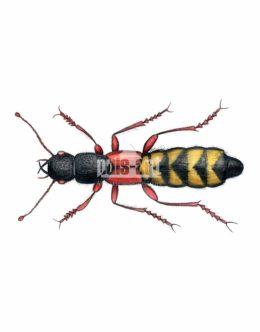 Kusak cezarek (Staphylinus caesareus)