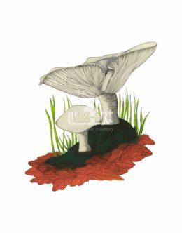 Lejkówka szarawa (Clitocybe nebularis)
