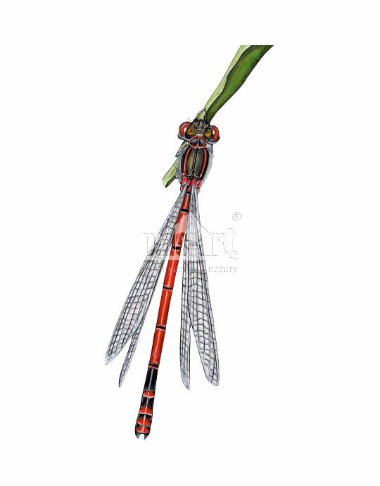 Łunica czerwona (Pyrrhosoma nymphula)