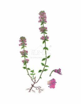 Macierzanka piaskowa (Thymus serpyllum)