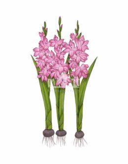 Mieczyk (Gladiolus)