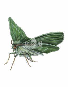 Miernik zieleniak (Geometra papilionaria)