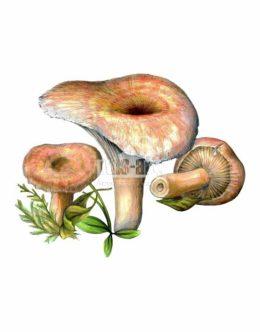 Mleczaj wełnianka (Lactarius torminosus)