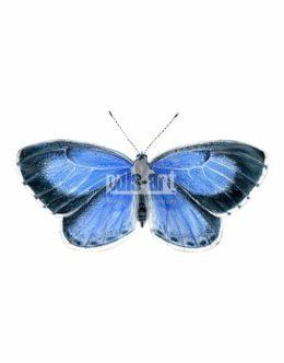Modraszek wieszczek (Celastrina argiolus)