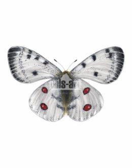 Niepylak apollo (Parnassius apollo)