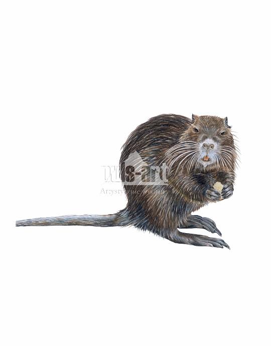 Nutria amerykańska (Myocastor coypus)