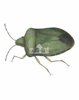 Odorek zieleniak (Palomena prasina)