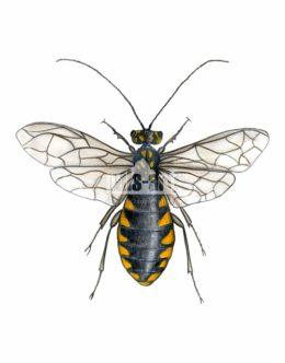 Osnuja gwiaździsta (Acantholyda posticalis) - samica
