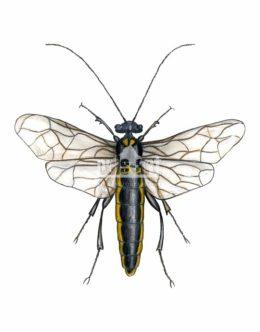 Osnuja gwiaździsta (Acantholyda posticalis) - samiec