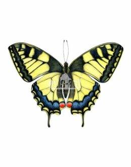 Paź królowej (Papilio machaon)