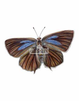 Pazik dębowiec (Neozephyrus quercus)