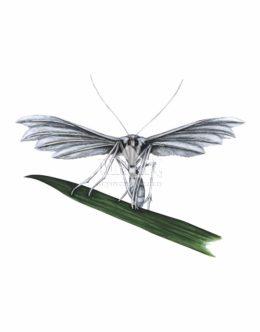 Piórolotek pięciopiór (Pterophorus pentadactyla)