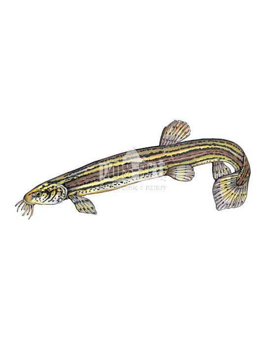 Piskorz (Misgurnus fossilis)