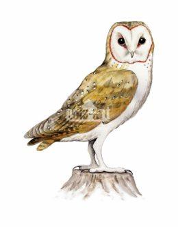 Płomykówka zwyczajna (Tyto alba)