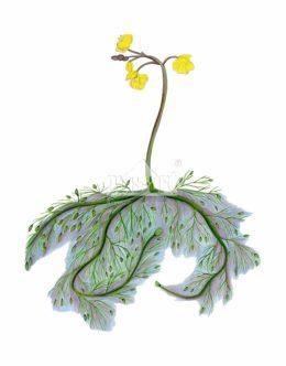Pływacz zwyczajny (Utricularia vulgaris)